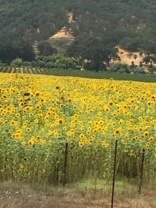 Sunflowers in Hopland, CA Aug2017